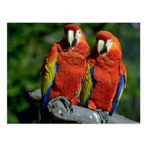 Loros del Amazonas Postales