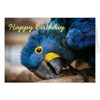 Loros del Macaw del jacinto de la tarjeta de