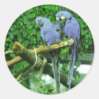 Loros gemelos azules