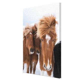 Los caballos islandeses nuzzle, Islandia Lienzo