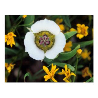 Los E.E.U.U., Colorado. Tulipán de Mariposa Postal