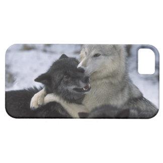 Los E.E.U.U., Montana, lobos que juegan en nieve iPhone 5 Funda