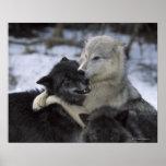 Los E.E.U.U., Montana, lobos que juegan en nieve Impresiones