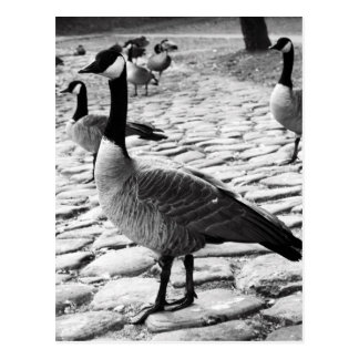 Los gansos canadienses acercan a la postal del