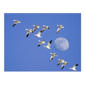 Los gansos de nieve toman vuelo en el lago NWR Postal
