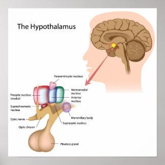 Los núcleos del poster del hipotálamo