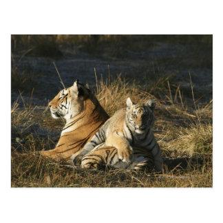 Los tigres (Panthera el Tigris) paren la mentira Postal