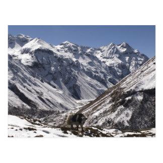 Los yacs acercan a Mt. Jhomolari, Jangothang Jigme Postal
