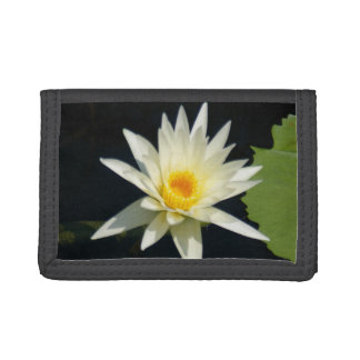 Lotus blanco Waterlily