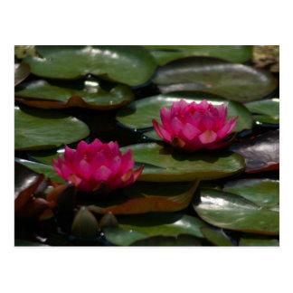 Lotus magenta Waterlilies Postal