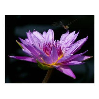 Lotus púrpura Waterlily y postal de la libélula