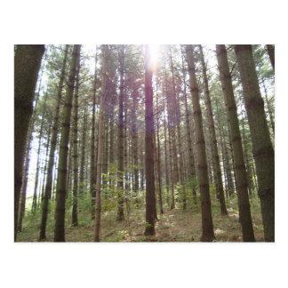 Luz del sol en los pinos postal