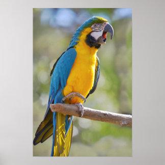 Macaw de Gelbbrustara en perca Póster