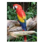Macaw escénico del escarlata postal