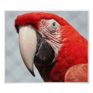 Macaw Póster