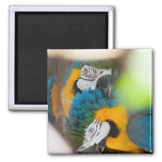 Macaws del azul del imán del refrigerador