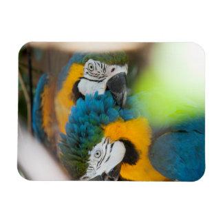 Macaws grandes del azul del imán