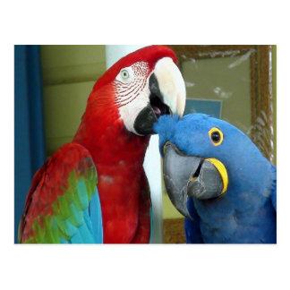 Macaws rojos y azules coloridos postal