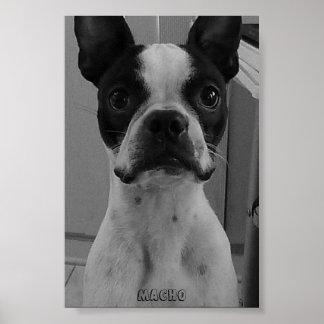 Machista el poster de Boston Terrier Póster