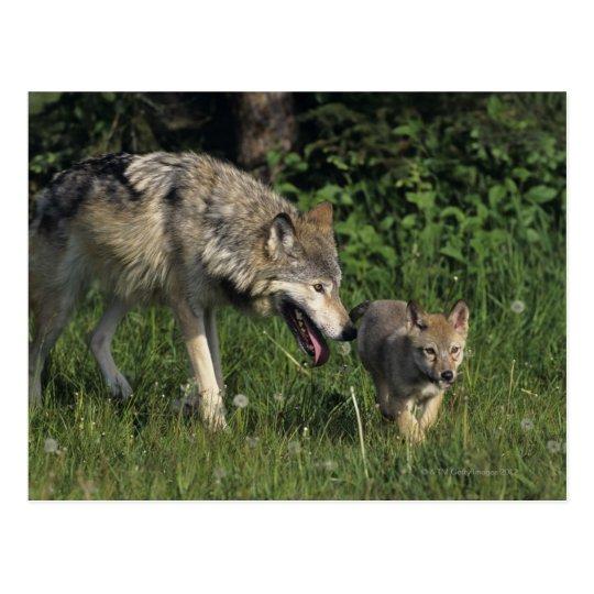 Madre del lobo con el perrito joven postal