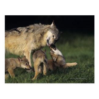 Madre del lobo con los perritos jovenes postal