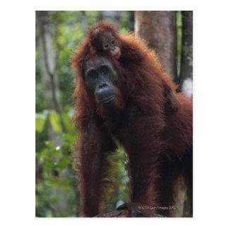 Madre del orangután con el bebé 2 postal