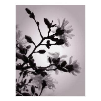 Magnolia de la primavera postal