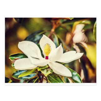 Magnolia en la floración postal