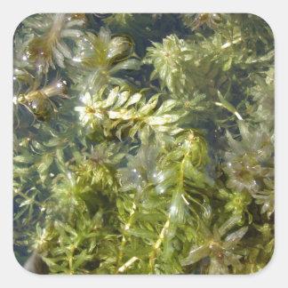 "Mala hierba de charca (o, ""charca enorme pegatina cuadrada"