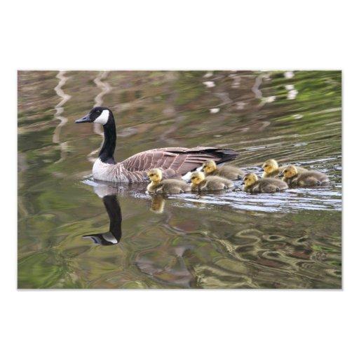 Mamá ganso y foto de los gansos del bebé