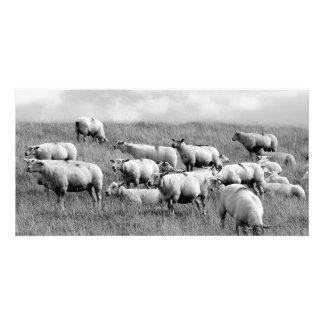 Manada de ovejas tarjeta fotografica personalizada