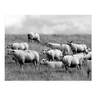 Manada de ovejas postal