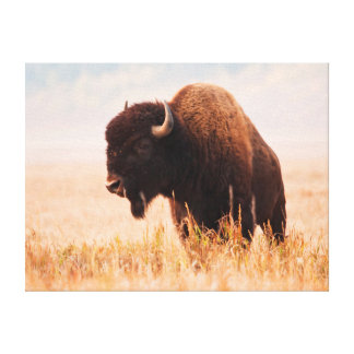 Manada del bisonte americano (bisonte del bisonte) impresion de lienzo