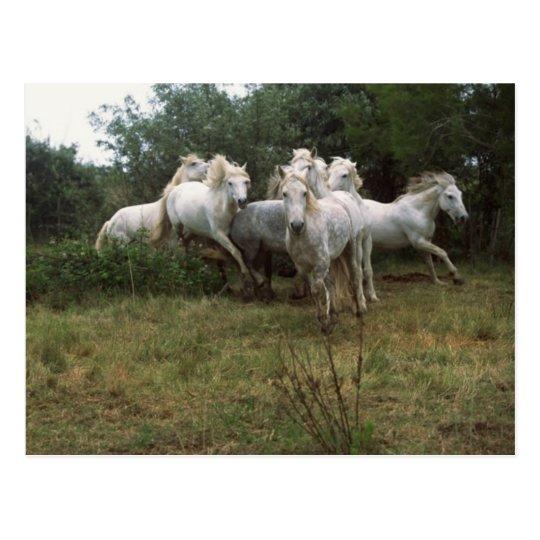 Manada gris corriente del caballo postal