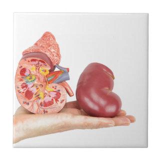 Mano plana que muestra el riñón humano modelo azulejo cuadrado pequeño