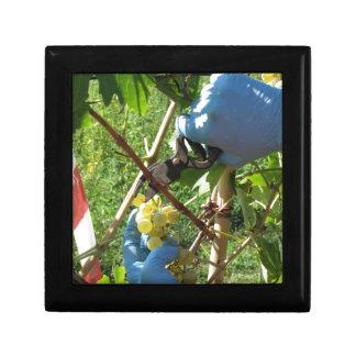 Mano que corta las uvas blancas, tiempo de cosecha caja de regalo