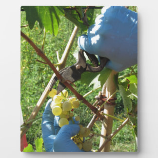 Mano que corta las uvas blancas, tiempo de cosecha placa expositora