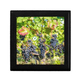 Manojos azules colgantes de la uva en viñedo caja de regalo