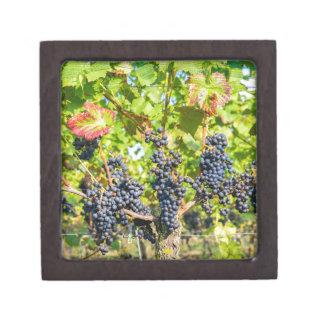 Manojos azules colgantes de la uva en viñedo joyero