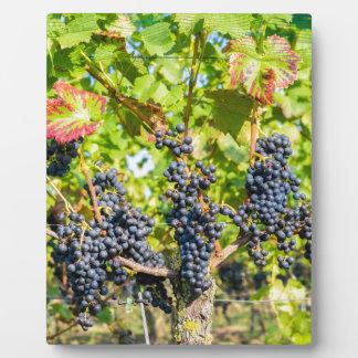 Manojos azules colgantes de la uva en viñedo placa expositora