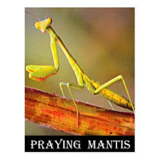 Mantis religiosa de Connecticut Postal