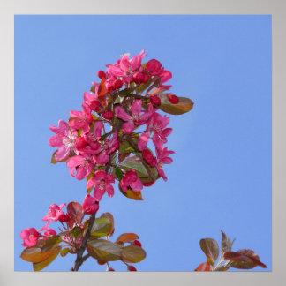 Manzana de ornato prima extra floribunda florec
