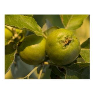 manzanas verdes postal