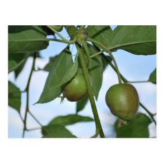 Manzanas verdes