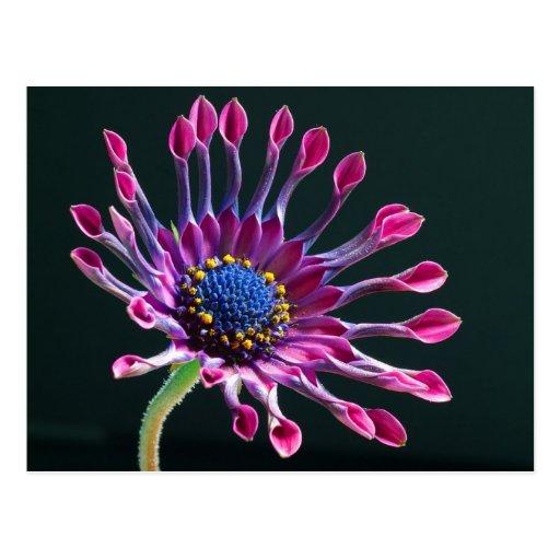 Margarita africana púrpura hermosa postal