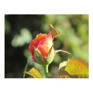 Mariposa ardiente del capitán en capullo de rosa postal
