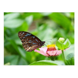 Mariposa azul del tigre postal