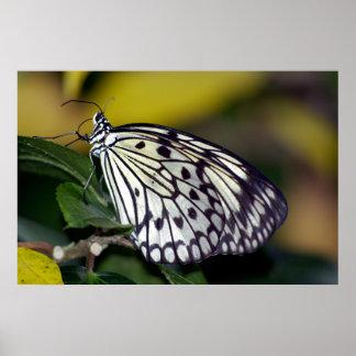 Mariposa blanca de la ninfa del árbol póster