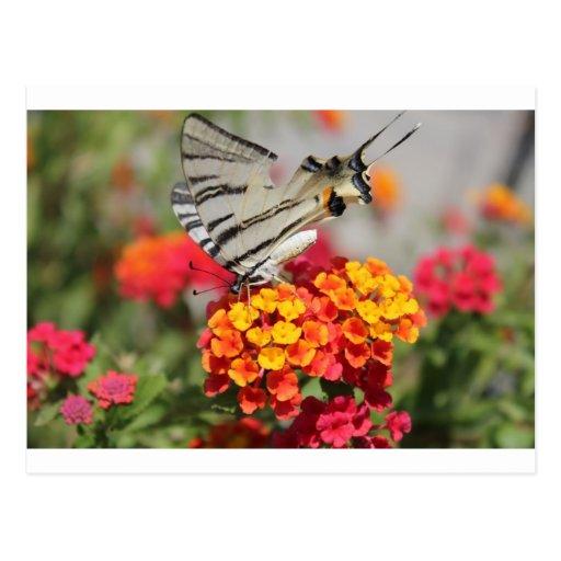 Mariposa blanca y negra de la cebra postal
