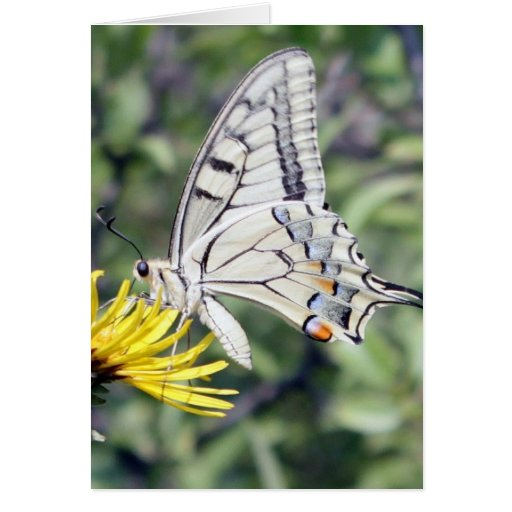Mariposa blanca y negra en la flor amarilla tarjetón